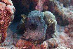 BD-150422-Maldives-7757-Arothron-nigropunctatus-(Bloch---Schneider.-1801)-[Blackspotted-puffer].jpg